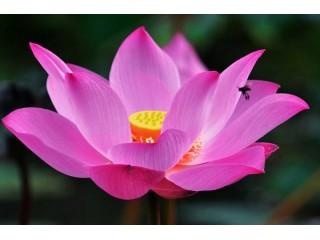 GiGi Lotus Beauty: энергия священного цветка для зрелой кожи